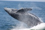 Whales at Puerto Vallarta